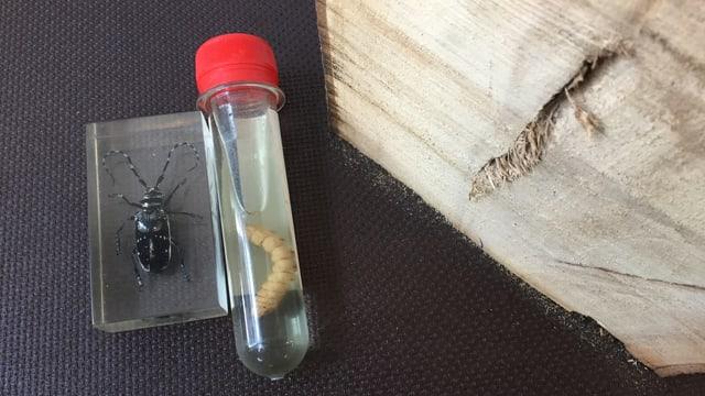 Eine durchsichtige Schachtel mit einem dunklen Käfer mit weissen Punkten, daneben ein Röhrli mit Käferlarfe.
