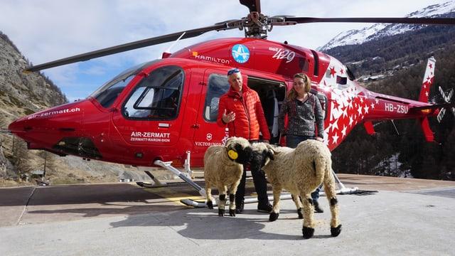 Schwarznasenschafe mit Bergretter vor Helikopter von Air Zermatt