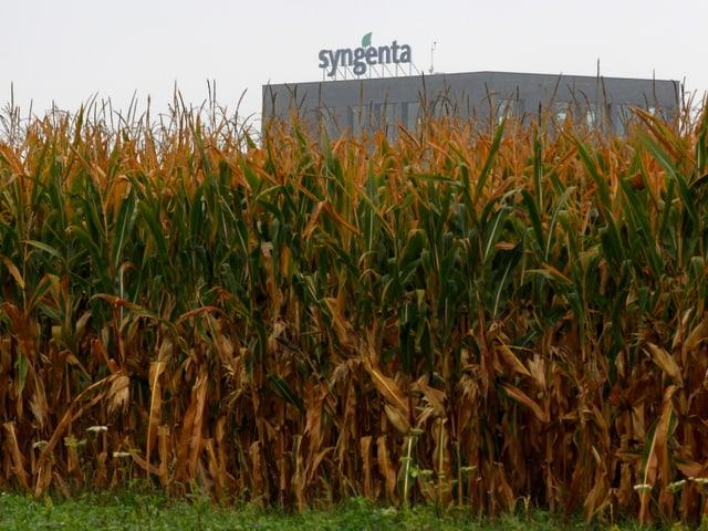 Ein Maisfeld in Basel, dahinter ein Syngenta-Gebäude.