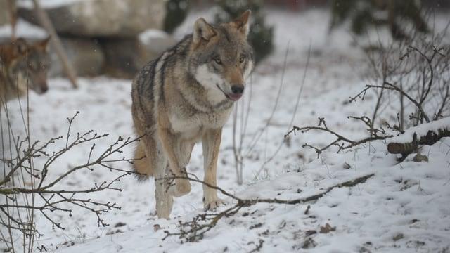 Auf sanften Pfoten streicht der Wolf über den Schnee bedeckten Boden.