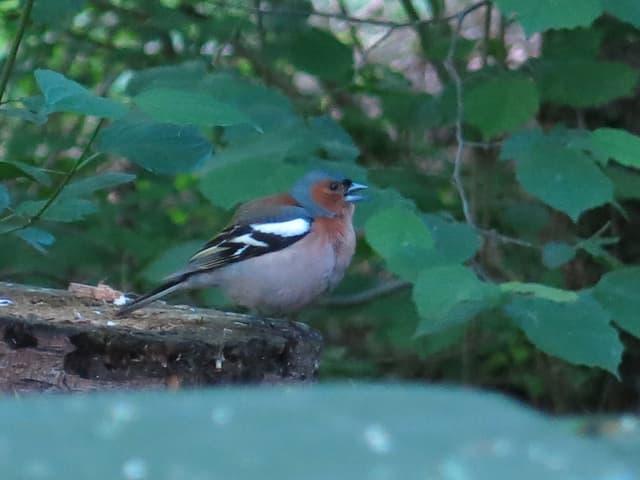Buchfink sitzt auf einem Baumstrunk