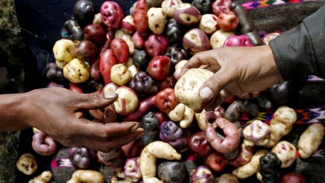 Verschiedenfarbige Kartoffeln unterschiedlichster Formen und Grösse liegen ausgebreitet auf einem Tisch.