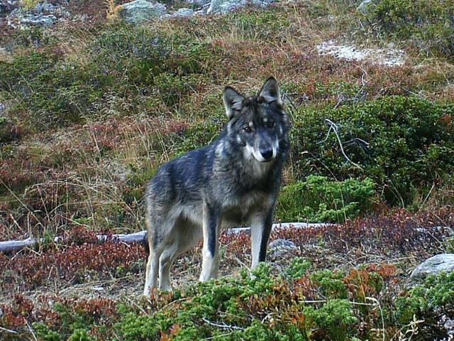 Ein Wolf im herbstlichen Gras.