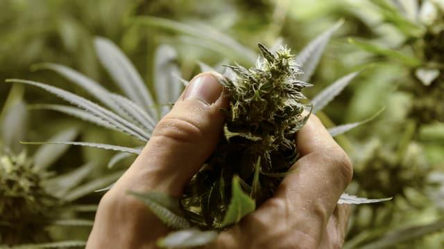 Eine Person hält eine Cannabis-Staude in der Hand.