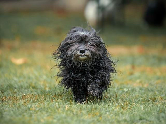 Ein kleiner schwarzer Hund auf einer Wiese.
