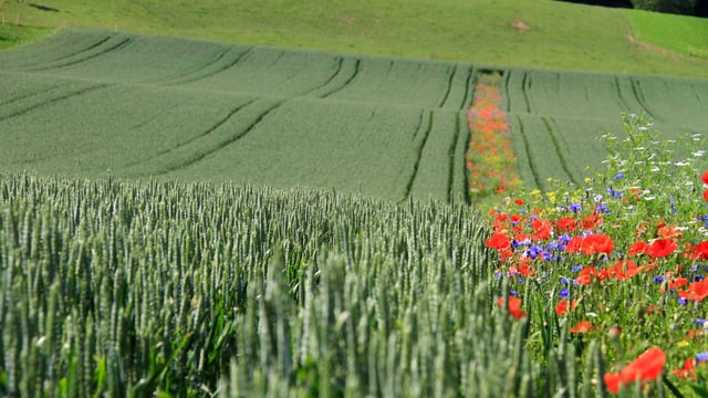 Ein Blühstreifen zwischen zwei Weizenfeldern.