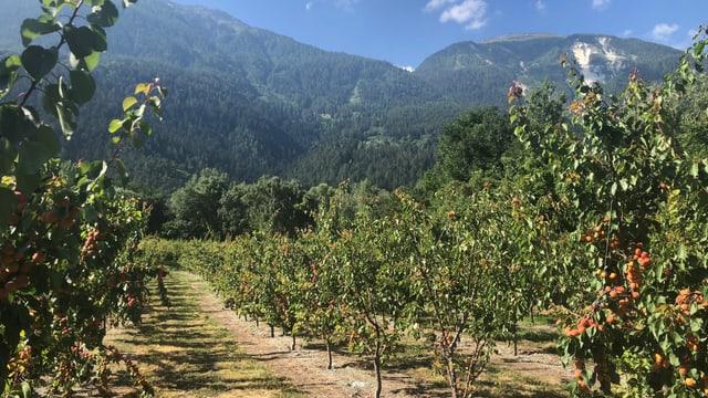 Aprikosenbäume