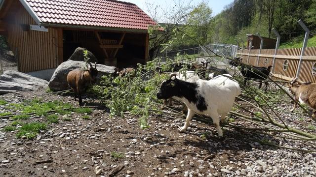 Las chauras èn ils emprims animals ch'ins vesa en il zoo da Doppelmayr/Garaventa.