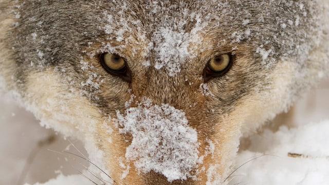 Ein Wolf mit der Schnauze im Schnee.