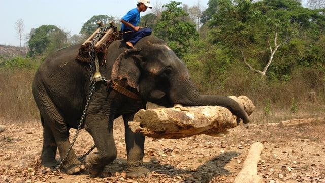 Ein Elefantenführer reitet auf einem Elefanten, der einen Baumstamm trägt.
