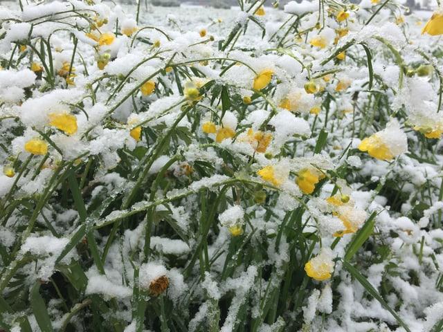 Eine Wiese mit gelben Blümchen darauf ist schneebedeckt.