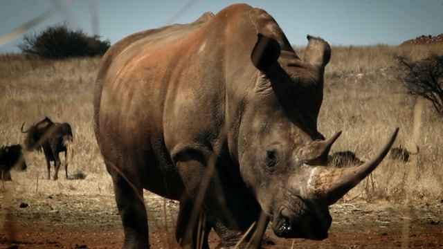 Im Krüger-Nationalpark werden jeden Tag zwischen ein und zwei Nashörner getötet.