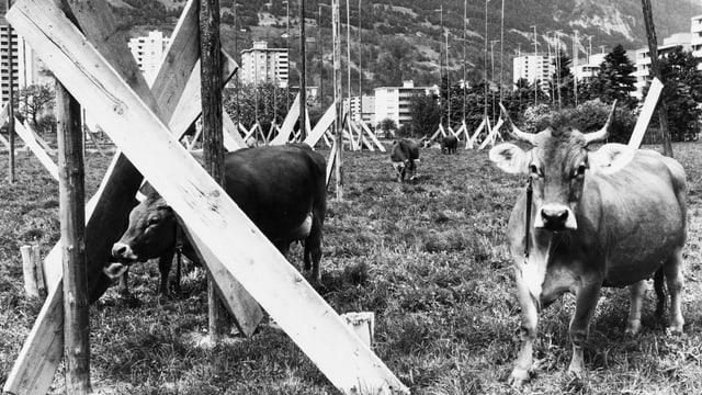 Kühe auf einer Wiese mit Bauelementen.