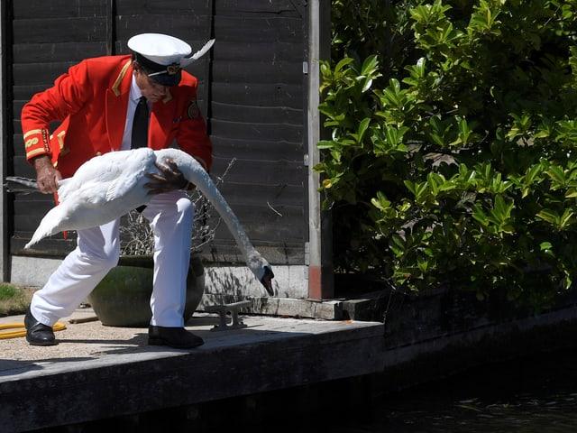 Ein Mann lässt einen Schwan zurück ins Wasser.