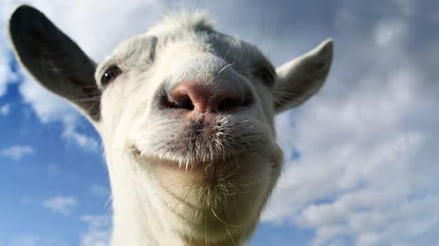 Eine Ziege blickt frech in die Kamera.