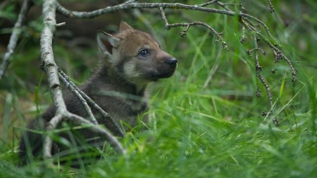 Ein Wölfchen liegt im Gras.