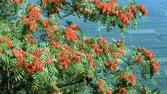 Götterbaum mit grünen Blättern und roten Früchten