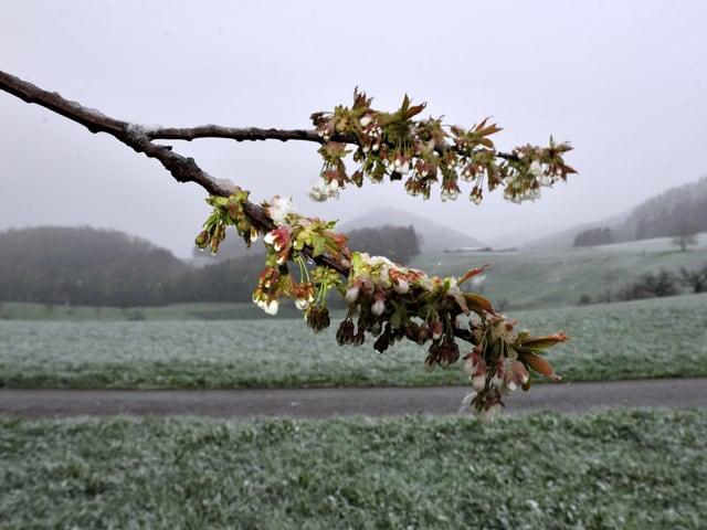 Ein Ast mit Blüten und im Hintergrund wenig Schnee auf den Wiesen.