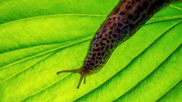 EIn Tigerschnegel kriecht über ein grünes Blatt.
