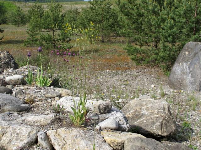 Zwischen grossen Steinen blühen Blumen