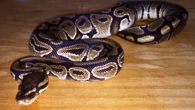 Eine Schlange räkelt sich auf einem Holztisch.