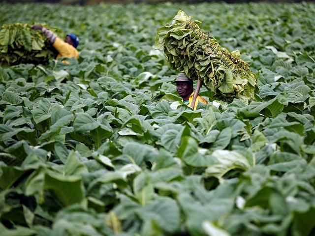 Mann auf einem Felb mit Tabakpflanzen.