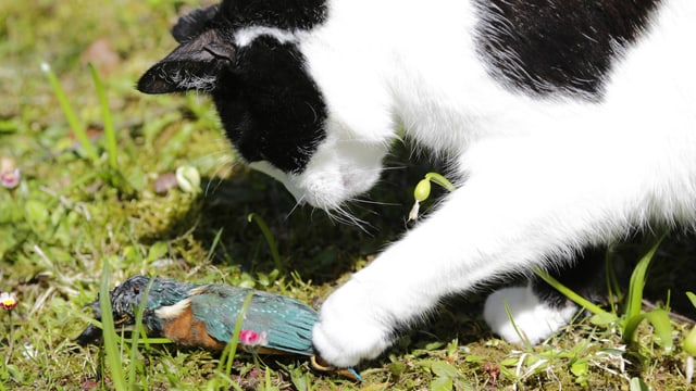 Schwarzweisse Hauskatze hält ihre Pfote auf einen Eisvogel.
