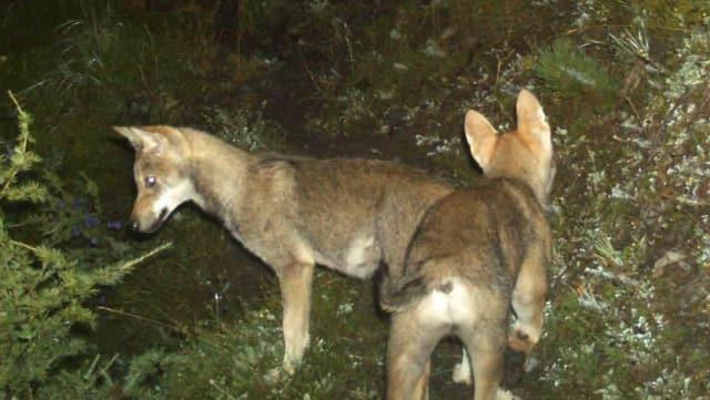 Bild vom August 2014: Zwei junge Wölfe.