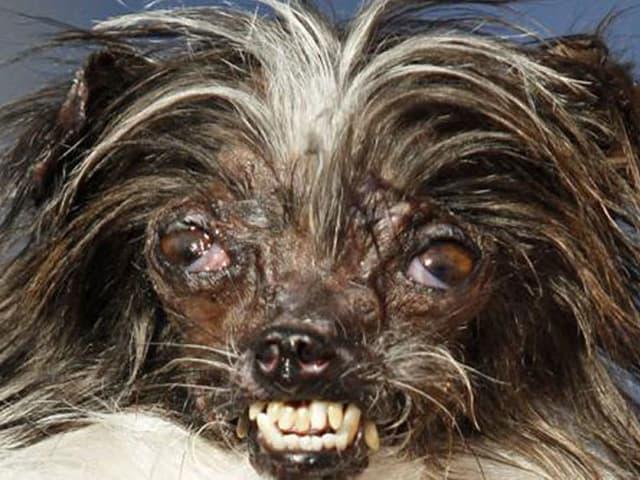 Dies ist laut Kalifornien der hässlichste Hund der Welt