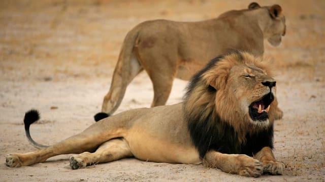Ein gähnender Löwe