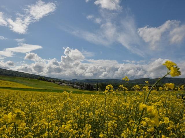 Gelbes Rapsfeld unten, blauer Himmel mit einigen Schönwetterwolken oben. Am Horizont ist ein Dorf sichtbar. Frühlingsstimmung.