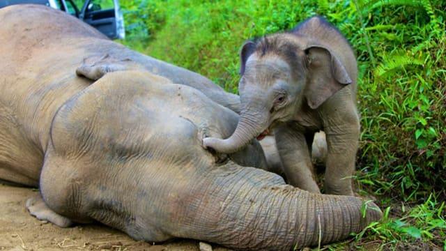 Der Palmöl-Plantage zum Opfer gefallen: Elefantenbaby trauert um seine tote Mutter.