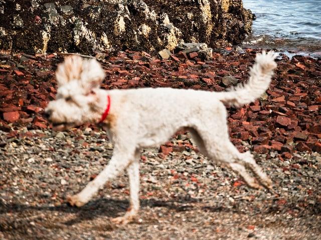 Ein Hund rennt. Im Hintergrund sieht man Wasser.
