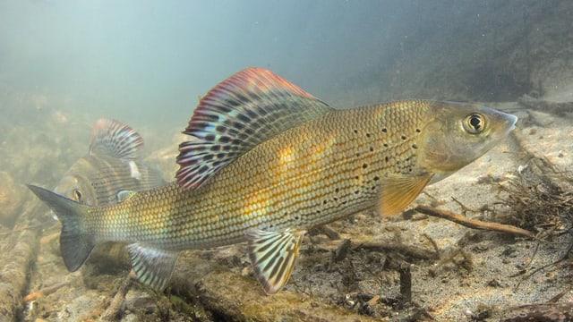 Zwei Äschen mit farbigen Flossen schwimmen knapp über einem Flussufer.