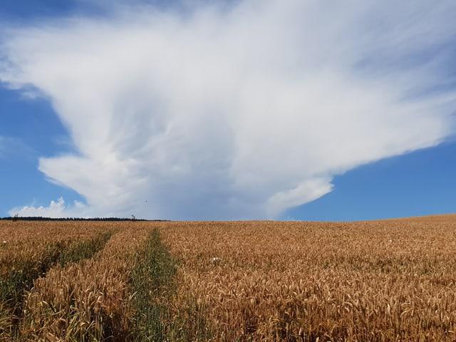 Eine Gewitterwolke über einem hellbraunen Kornfeld.