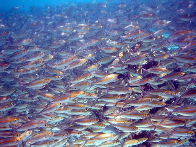 Fisch-Schwärme, wie hier vor der Küste von Papua Neuguinea, sind auch für Forscher faszinierend.