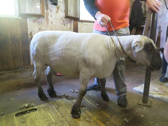 Ein Schaf nackt geschoren. Im Herbst wiederholt sich das Prozedere.
