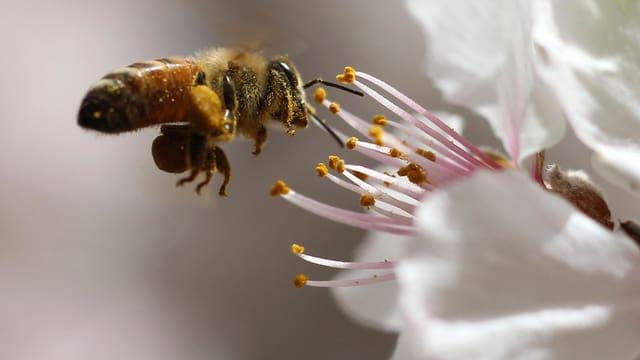 Eine Biene an einer Mandelblüte
