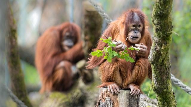 Ein Orang-Utan sitzt auf einem Baumstamm.
