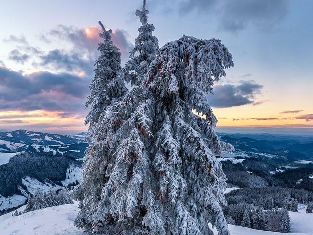 Die Schneelast drückt eine Fichte leicht nach unten, sie steht auf einer verschneiten Almwiese.
