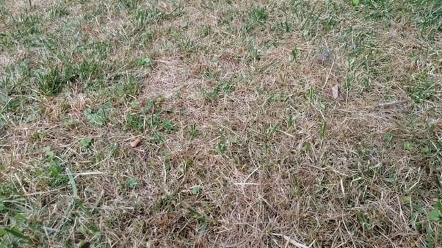 Rasen in Nahaufnahme, mehrheitlich vertrocknet.