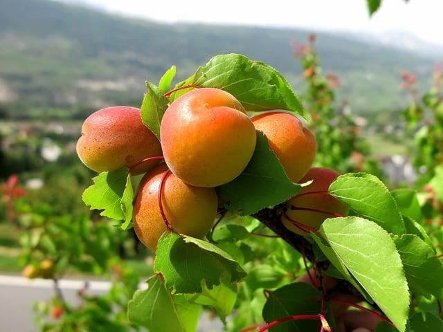 Ein Aprikosenzweig mit prallen Früchten.