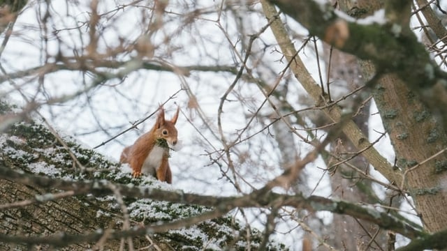 Eichhörnchen auf einem Dicken Ast mitten im Geäst