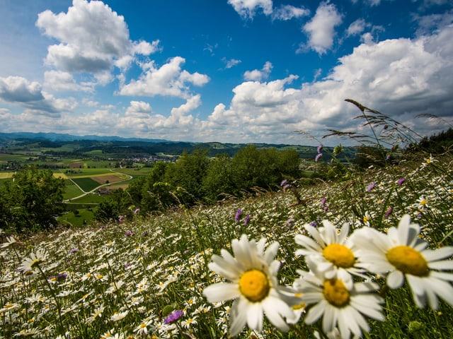 Eine Blumenwiese mit blauem Himmel und ein paar Quellwolken im Hintergrund.
