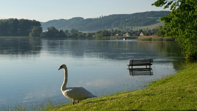 Ein Schwan steht neben einer überfluteten Parkbank am Rheinufer bei Stein am Rhein.