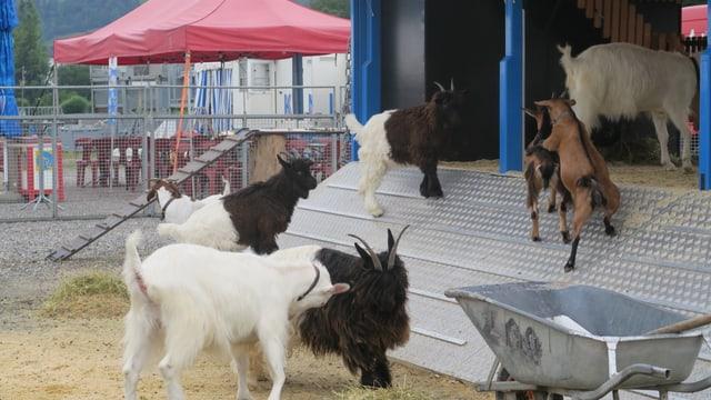 Verschiedenen Geissen laufen auf eine Rampe, dahinter ein mobiler Stall.