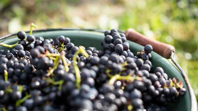 Dunkle Weintrauben in einem Kessel