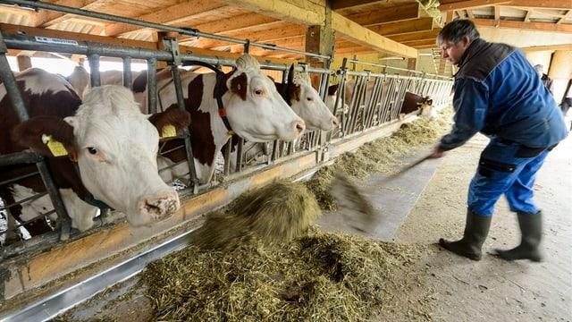 Bauer füttert Kühe.