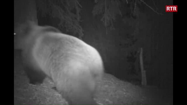 L'urs fotografà en vischinanza da Trun.