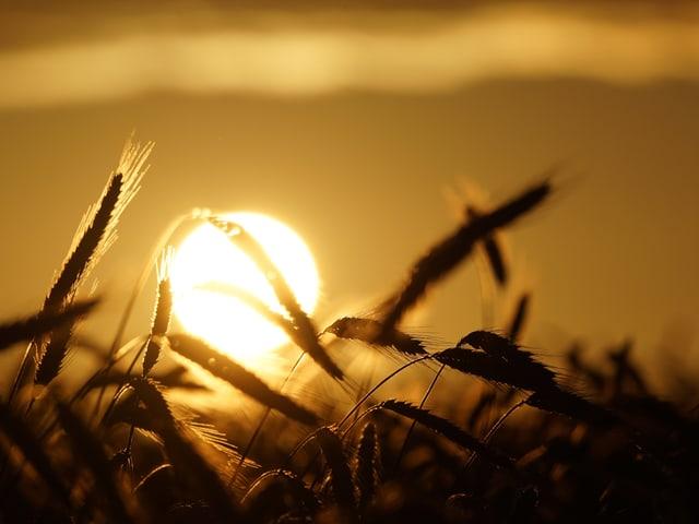 Weizenfeld und Sonnenuntergang.
